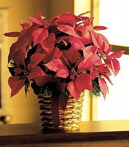 Poinsettia & Pines