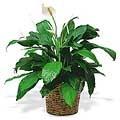 Piece Lily Plant
