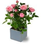 Rose Bush Plant